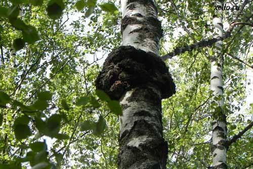 Берёзовый гриб Чага, Рецептура 1