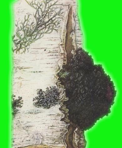 Фитомеланин в берёзовом грибе Чага