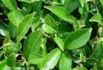 Листья зелёного чая
